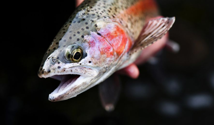 A Madison River rainbow trout is released on the river near Ennis, Mont., Sunday, June 5, 2011. (Ben Pierce/Bozeman Daily Chronicle via AP)