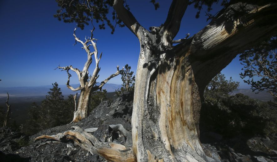 This June 15, 2014 photo shows the Bristlecone Trail in Great Basin National Park. The park, located near the Utah border in central-eastern Nevada, was established in 1986. (Jeff Scheid/Las Vegas Review-Journal via AP) LOCAL TELEVISION OUT; LOCAL INTERNET OUT; LAS VEGAS SUN OUT
