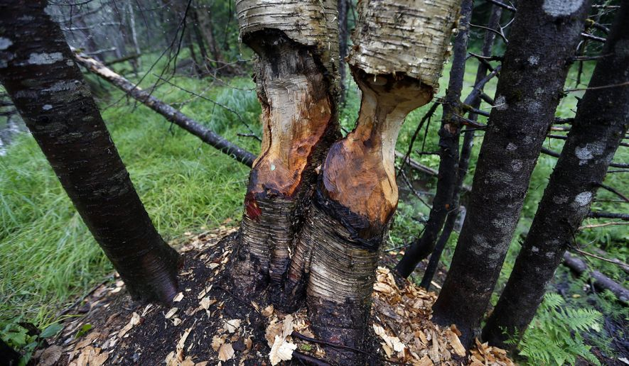 FILE-In this Tuesday, Aug. 4, 2015 file photo, birch trees show signs of beaver activity on woodland proposed for a national park in Penobscot County, Maine. Proponents of the national park proposal say they see growing support, and they're aiming for an aggressive timetable for making it a reality. A congressional field hearing this week on a proposal to create a national monument shows how the lines have been drawn. (AP Photo/Robert F. Bukaty, file)