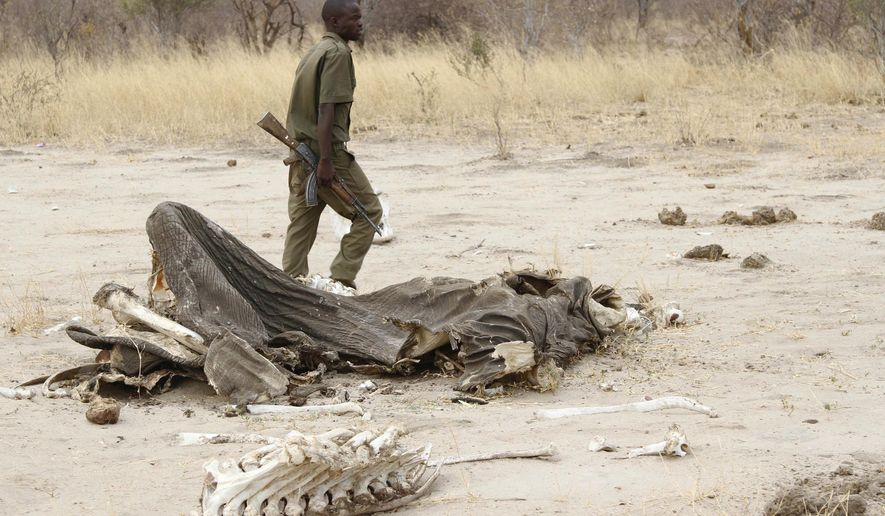 FILE - In this Sunday, Sept. 29, 2013 file photo, a game ranger walks by a rotting elephant carcass, in Hwange National Park, Zimbabwe. Zimbabwean officials say poachers killed five elephants by poisoning them with cyanide. Violet Makoto, spokeswoman for Zimbabwe's forestry commission, said Monday, May 30, 2016 that rangers discovered the carcasses of the elephants with their tusks removed in a western forest last week. No arrests have been made. (AP Photo)