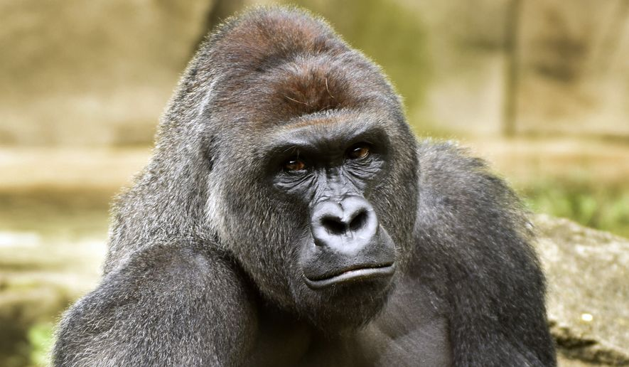 A June 20, 2015, file photo provided by the Cincinnati Zoo and Botanical Garden shows Harambe, a western lowland gorilla, who was fatally shot Saturday, May 28, 2016, to protect a 4-year-old boy who had entered its exhibit. (Jeff McCurry/Cincinnati Zoo and Botanical Garden via The Cincinnati Enquirer via AP)