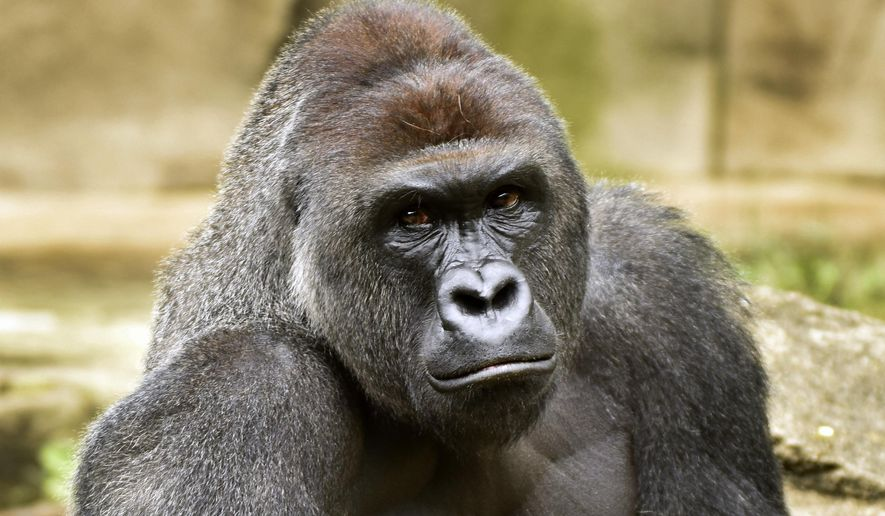 CORRECTS AGE FOR CHILD FROM 4 TO 3- A June 20, 2015 photo provided by the Cincinnati Zoo and Botanical Garden shows Harambe, a western lowland gorilla, who was fatally shot Saturday, May 28, 2016, to protect a 3-year-old boy who had entered its exhibit. (Jeff McCurry/Cincinnati Zoo and Botanical Garden via The Cincinatti Enquirer via AP)