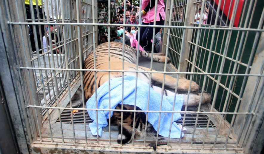 "In this Monday May 30, 2016, photo, a sedated tiger lies in a cage at the ""Tiger Temple"" in Saiyok district in Kanchanaburi province, west of Bangkok, Thailand. Wildlife officials in Thailand on Monday began removing some of the 137 tigers held at a Buddhist temple following accusations that the monks were involved in illegal breeding and trafficking of the animals. (AP Photo)"