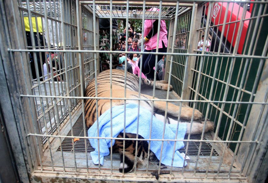 """In this Monday May 30, 2016, photo, a sedated tiger lies in a cage at the """"Tiger Temple"""" in Saiyok district in Kanchanaburi province, west of Bangkok, Thailand. Wildlife officials in Thailand on Monday began removing some of the 137 tigers held at a Buddhist temple following accusations that the monks were involved in illegal breeding and trafficking of the animals. (AP Photo)"""