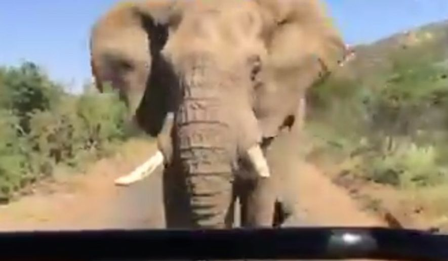 An elephant charges former California governor Arnold Schwarzenegger's vehicle while on safari in Africa. (YouTube, Arnold Schwarzenegger)