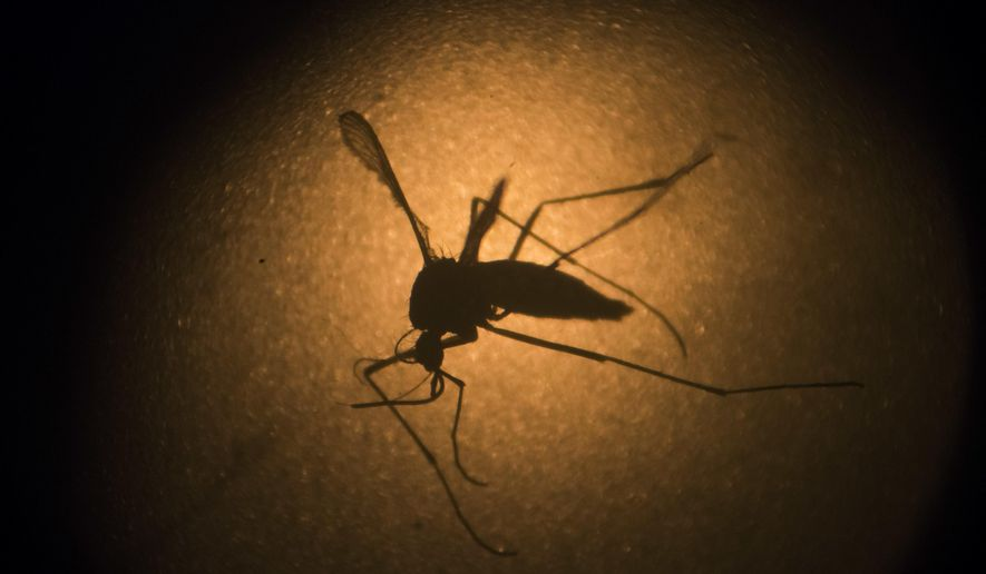 In this Jan. 27, 2016, file photo, an Aedes aegypti mosquito is photographed through a microscope at the Fiocruz institute in Recife, Pernambuco state, Brazil. A New Jersey doctor said a woman from Honduras with the Zika virus gave birth to a baby on May 31, 2016, that appears to be affected by the disease, which is spread primarily through mosquito bites and can also be transmitted through sex. (AP Photo/Felipe Dana, File)