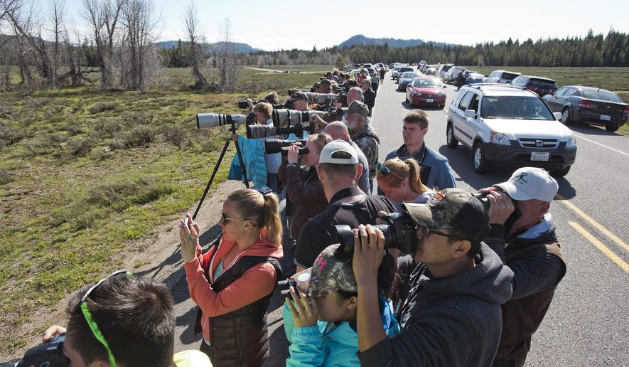 Tourists and photographers line the side of the highway to catch a glimpse of a mother grizzly bear foraging with her two cubs on May 13, 2016, in Grand Teton National Park, Wyoming.  Grand Teton National Park volunteers try to corral the motoring hordes of bear-loving people to keep them safely separated from grizzlies. (Bradly J. Boner/Jackson Hole News & Guide via AP) MANDATORY CREDIT
