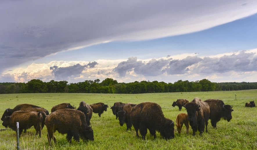 In this May 24, 2016 photo, a herd of bison grazes as a line of clouds moves in on Tom Barthel and Gail Wilkinson's Snake River Farm, near Becker, Minn. (Kimm Anderson/St. Cloud Times via AP)  NO SALES; MANDATORY CREDIT