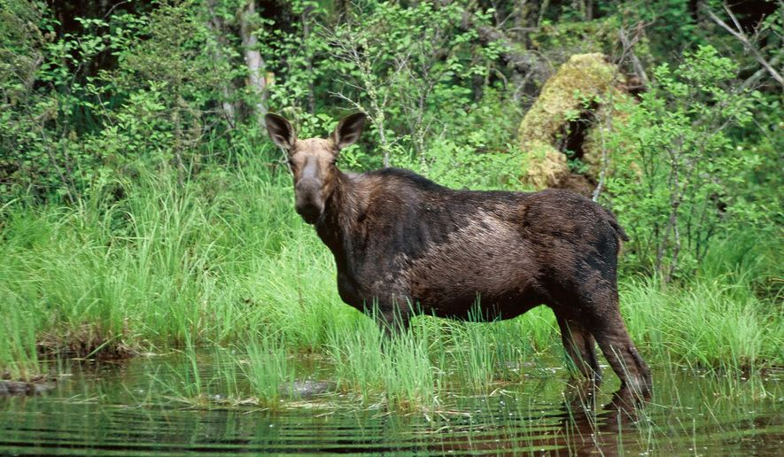 FILE - This undated file photo shows a moose wading in a small pond in the Superior National Forest in Minnesota. The U.S. Fish and Wildlife Service said Thursday, June 2, 2016, they'll investigate whether moose in four Midwestern states should be protected under the Endangered Species Act. The review pertains only to moose in Michigan, Minnesota, Wisconsin and North Dakota. (AP Photo/Jim Mone, File)