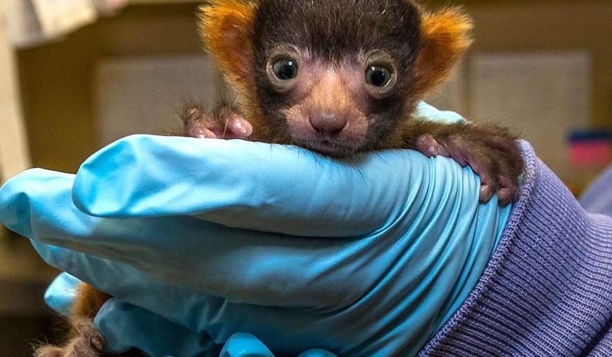 This May 27, 2016, photo provided by San Diego Zoo Global shows a male red ruffed lemur that was born on May 18, 2016 at the San Diego Zoo's behind-the-scenes Primate Propagation Center. The San Diego Zoo, announced the birth of the rare red ruffed lemur, an endangered tiny primate species that in nature is only found on the island of Madagascar. (Ken Bohn/San Diego Zoo Global via AP)