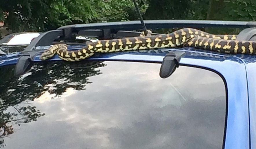 This photo provided by Judi Care shows an 8-foot-long carpet python on the roof of Patricia Russell's Hyundai Santa Fe automobile, Thursday, June 2, 2016, in the parking lot of a WesBanco Inc. bank branch in Beaver, Pa. Police were called to capture the snake, and took it to the Aquatic Gardens pet store in Beaver Falls, Pa., according to the Beaver County Times. (Judi Care via AP)