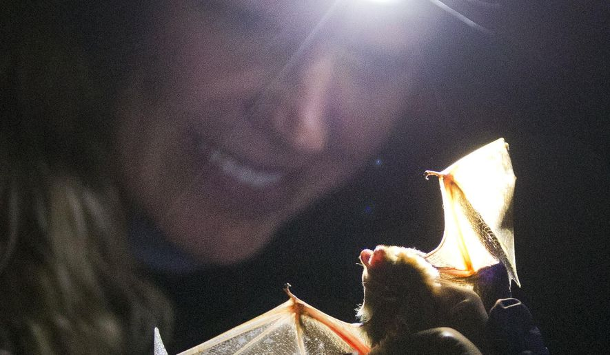 In this photo taken Tuesday, May 24, 2016 batt reacher Jackie Beck examines a bat she caught outside Vogel Sate Park near Blairsville, Ga. Georgia's bat population appears headed for the same decimation of the animals experienced by eastern states. Georgia researchers, though, could produce a treatment that helps other states avoid the same fate. (AP Photo/John Bazemore)