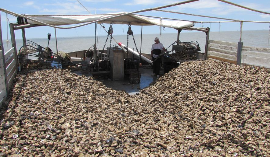 Toma Halili, a crew member on Capt. Tracey, surveys oyster shells drawn from the bay Tuesday, June 7, 2016. Prestige Oysters, a company based in San Leon, Texas, is moving its oyster beds to higher salinity waters, where they have a better chance of surviving. Recent heavy rains and flooding along the Brazos River have pushed freshwater into the bay, killing off some oysters. (Marissa Barnett/The Galveston County Daily News via AP)