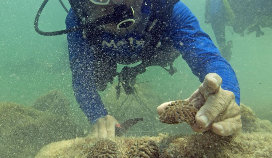 In this photo provided by the Florida Keys News Bureau, Dr. Dave Vaughan of Mote Marine Laboratory plants infant corals Monday, June 13, 2016, on the sea floor off Fort Zachary Taylor State Park in the Florida Keys National Marine Sanctuary in Key West, Fla. Mote, in partnership with Florida State Parks, the Sanctuary and the Florida Keys tourism council, hopes to plant more than 5,000 corals by the end of July 2016, creating a coral restoration snorkeling trail just off the state park beach. (Bob Care/Florida Keys News Bureau via AP)