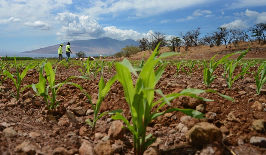 In this Sept. 10, 2014, file photo, Monsanto crew members Gerard Manuel, left, and Rommel Angale, right, count corn sprouts in a field of test hybrids in a breeding nursery near Kihei, Hawaii. (The Maui News, Matthew Thayer via AP, File)