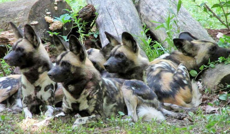 In this undated photo provided by the Endangered Wolf Center, a pack of African wild dogs rest at their new home, the Endangered Wolf Center in the St. Louis suburb of Eureka, Mo. Only a few thousand of the dogs remain in existence in the wild in Africa. The Endangered Wolf Center plans to breed the dogs as part of the effort to boost their population. (Endangered Wolf Center via AP) MANDATORY CREDIT