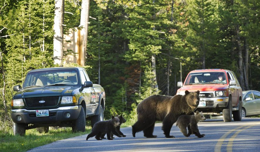 FILE - This June 2011 file photo shows Grizzly bear No. 399 crossing a road in Grand Teton National Park, Wyo., with her three cubs. A car has killed the only bear cub believed born this year to bear No. 399, one of the best-known grizzlies in Wyoming's Grand Teton National Park. Park officials say the cub died after being hit Sunday night. They say they're reasonably certain it belonged to a popular grizzly dubbed 399 but can't be sure before DNA testing. (AP photo/Tom Mangelsen, File)