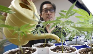Canna Care employee John Hough waters young marijuana plants at the medical marijuana dispensary in Sacramento, Calif., in this Aug. 19, 2015 photo. (AP Photo/Rich Pedroncelli, File) ** FILE **
