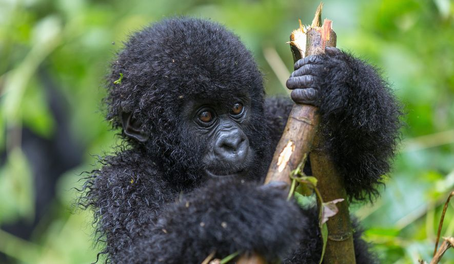Hundreds of endangered gorillas live in Virunga National Park. (Photo: Shutterstock)