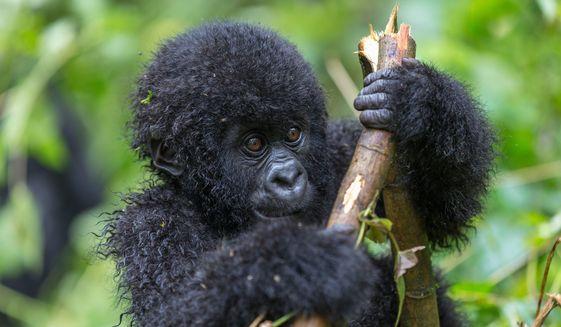 Hundreds of endangered gorillas live in Virunga National Park. (Photo: Shutterstock)