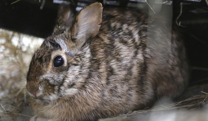 In this Tuesday, June 21, 2016 photo, a male New England cottontail rabbit sits in a pen at the Roger Williams Park Zoo, in Providence, R.I. In an ambitious restoration project, following 50 years of decline in the population of the species due to reduced habitat, federal and state authorities are raising the rabbits in captivity to release scores of tiny bunnies this summer into areas where thickets and brush have returned. (AP Photo/Steven Senne)