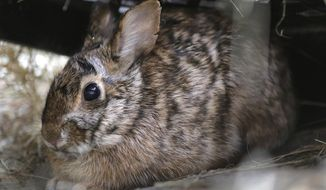 "The District of Columbia's wildlife action plan lists the Eastern cottontail rabbit as a ""species of greatest conservation need."" (Associated Press/File)"