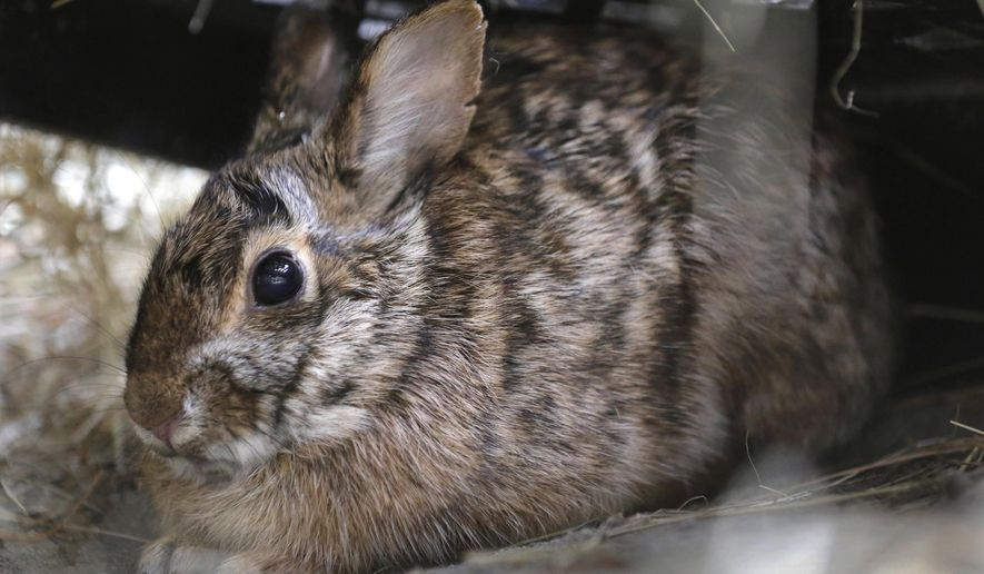 """The District of Columbia's wildlife action plan lists the Eastern cottontail rabbit as a """"species of greatest conservation need."""" (Associated Press/File)"""
