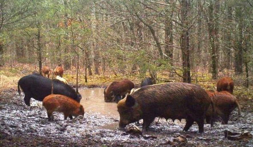 This 2015 photo provided by Missouri Department of Conservation shows Feral Hogs in Ozark County, Mo.  Hunters could help reduce the population of destructive and dangerous feral hogs in Missouri if they would stop shooting them, according to officials who are considering banning feral hog hunting on land owned or managed by the state conservation department.  The ban's goal is to completely eradicate the feral hogs, which multiply rapidly and do extensive damage to land, water and habitat, conservation officials said.    (Missouri Department of Conservation via AP)