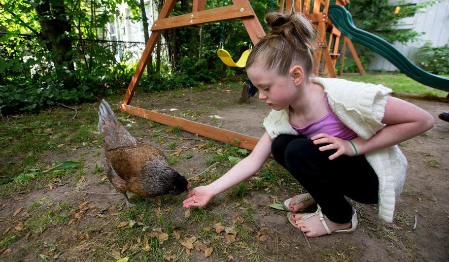Nevaeh Laskey, 8, feeds her chicken Miss Henny Penny on Thursday, June 16, 2016 in the backyard of her Coeur d'Alene home. (Jake Parrish/Coeur d'Alene Press via AP) MANDATORY CREDIT