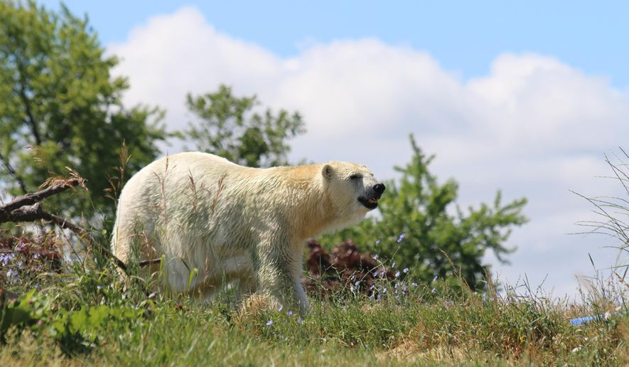In this photo provided by the Detroit Zoological Society. Tundra, a 29-year-old female polar bear, walks around her new home, the Detroit Zoo, Tuesday, June 28, 2016, after a weekend transfer from the Indianapolis Zoo. (Corydon Martin/Detroit Zoological Society via AP) MANDATORY CREDIT