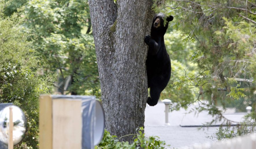 A bear wandering around the Historic Distric of Opelika, Ala on Wednesday, June 29, 2016 was tranquilized in this tree, climbed down and later feel asleep and relocated after a couple hour chase. (Todd J. Van Emst/Opelika-Auburn News via AP)