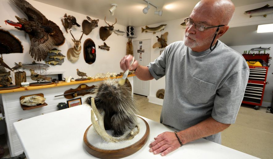ADVANCE FOR MONDAY, JULY 4, 2016 - In this photo taken June 6, 2016, Jim Haveman, owner of Nature's Reflections Taxidermy, dusts a porcupine mount in Traverse City, Mich. (Dan Nielsen/Traverse City Record-Eagle via AP) MANDATORY CREDIT