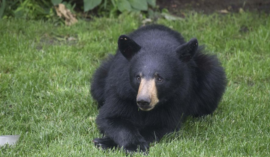 In this June 22, 2016 photo provided by Theodore L. Hatch, a black bear rests in his backyard in Scarborough, Maine. Complaints of nuisance bears have increased this year as dry weather conditions and the early emergence of spring conspired to bring humans into more contact with black bears in New England. (Theodore L. Hatch via AP)