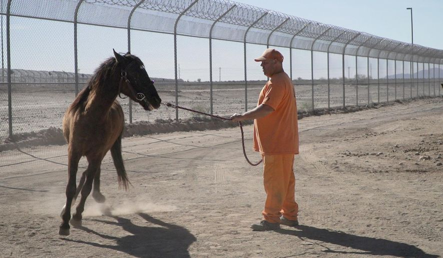 Inmates Brian Tierce works with a horse at the Arizona State Prison Complex in Florence, Ariz. He is part of the Wild Horse Inmate Program that uses inmates to tame wild horses gathered from BLM land. (Pat Shannahan/The Arizona Republic via AP)