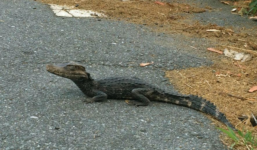 An alligator makes it's way along South Walker St. in Lowell, Mass., Sunday, July 3, 2016. Animal Control took the foot-long alligator into custody and took it to a facility specializing in reptile rehabilitation for evaluation and care. (Lowell Police Department/Lowell Animal Control via AP)