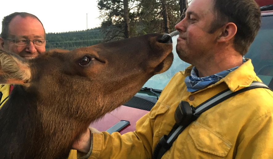 In this Saturday, July 2, 2016 photo provided by Kittitas County Fire & Rescue shows an affectionate elk greeting Kittitas County Fire & Rescue firefighter Jonas Smith over the holiday weekend as they worked to tame a wildfire in Kittias County, Wash. The orphaned elk, dubbed Buttons by the locals, is a fixture in Kittitas County, where she took up residence with some cows and goats on a hillside. (Richelle Risdon/Kittitas County Fire & Rescue via AP)