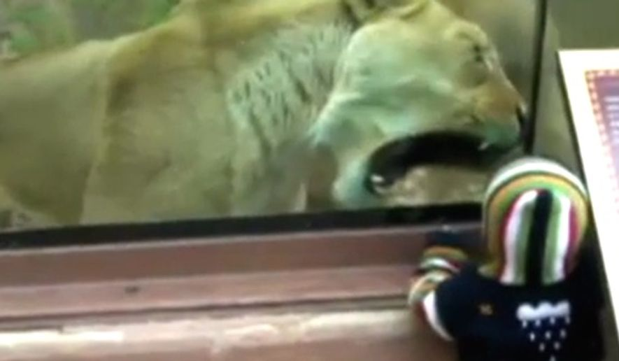 A lioness at the Cheyenne Mountain Zoo in Colorado Springs, Colorado, attempts to get at a child from behind protective class in June 2011. (Fox News screenshot)