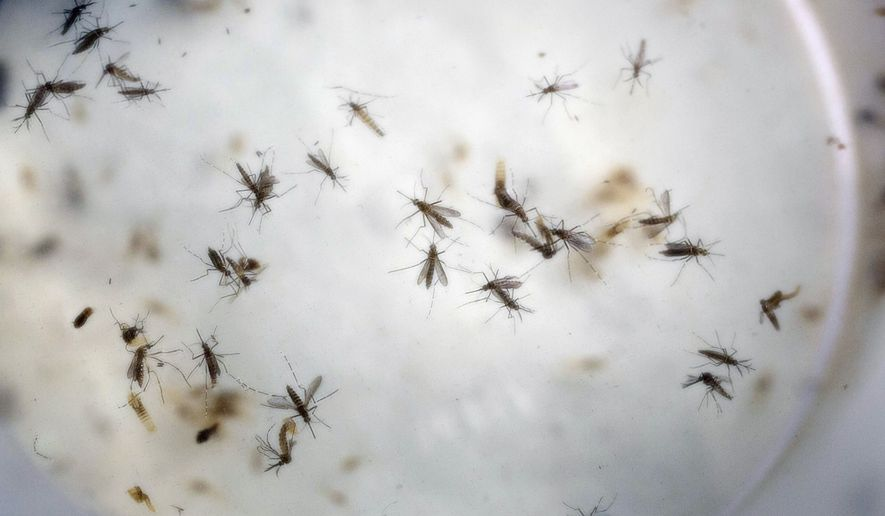 Aedes aegypti mosquitoes are seen in a mosquito cage at a laboratory in Cucuta, Colombia, on Feb. 11, 2016. (Associated Press) **FILE**