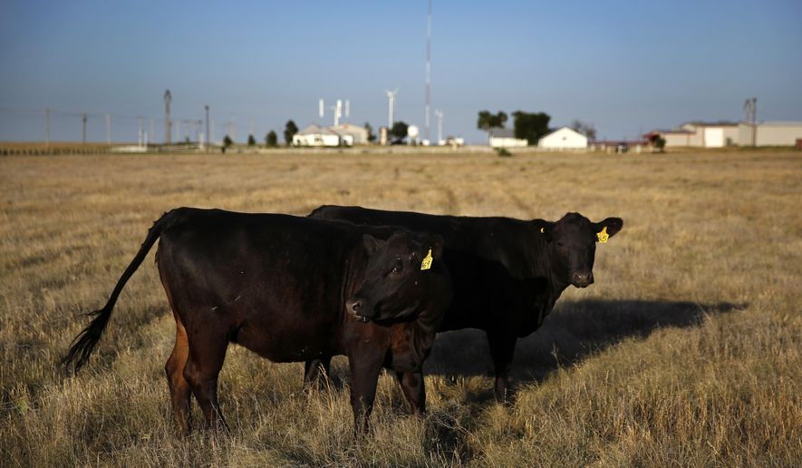 In this photo taken June 22, 2016, a pair of heifer calves graze at West Texas A&M University's Nance Ranch east of Canyon, Texas. The offspring are from Alpha, a four year old bull that was cloned from Prime Yield Grade 1 carcass muscle tissue.  (Tom Fox/The Dallas Morning News via AP)