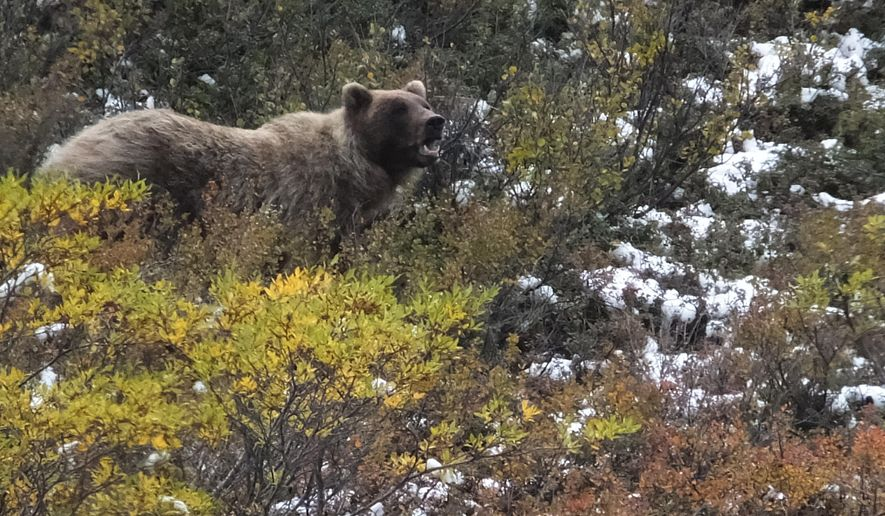 """FILE - In this Aug. 31, 2015 file photo, a grizzly bear looks up from foraging in Denali National Park and Preserve, Alaska. There's a basic rule on what to do if you encounter a bear in the wilderness. That says, """"If it's brown, you lie down. If it's black, you fight back."""" A biologist at Denali National Park says the idea is to play dead only after a brown bear has struck or is about to, not before. The advice comes after a woman hiking in Denali immediately played dead when she saw a grizzly but was attacked anyway. The woman survived. (AP Photo/Becky Bohrer, File)"""