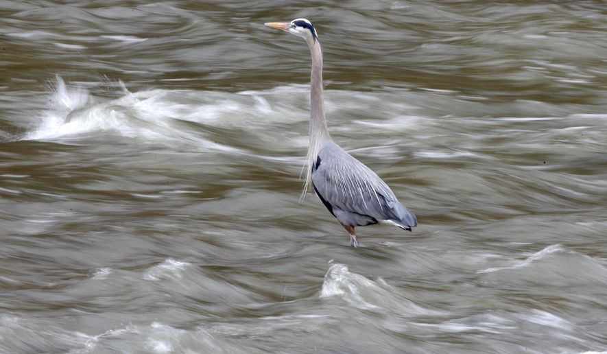FILE - In this March 30, 2001 file photo, a great blue heron fishes in the Cuyahoga River in the Cuyahoga Valley National Park in Brecksville, Ohio. There are several rookeries on the river, which is also home this year to an eagle's nest. The park offers an opportunity to immerse yourself in nature just minutes from Cleveland and Akron, Ohio. (AP Photo/Amy Sancetta, File)
