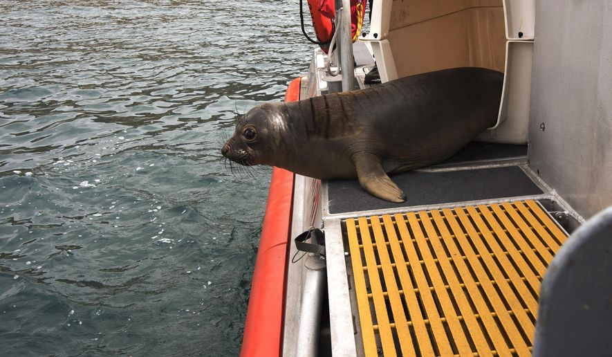 In this Tuesday, July 12, 2016 photo provided by the U.S. Coast Guard, one of two 6-month-old elephant seal pups is released from the deck of a Coast Guard ship at Smugglers Cove on Santa Cruz Island off the coast of Southern California. The pups were found off the coast of Malibu in March, struggling to feed themselves. After care at the California Wildlife Center rehabilitation facility in Calabasas, Calif., the pups are now heavier, and with months of practice catching fish, they are likely to be able to thrive in the wild. (Petty Officer 1st Class Sondra Kay Kneen/U.S. Coast Guard via AP)