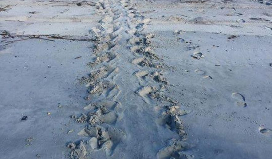In this 2016 photo made available by the Georgia Department of Natural Resources, a loggerhead trail leads to a nest on Cumberland Island, Ga. Rare loggerhead sea turtles have reached a conservation milestone on the coast of Georgia. The Georgia Department of Natural Resources says more than 2,890 loggerhead sea turtle nests have been counted this summer on beaches along the state's 100-mile coast. (Laura Buckmaster/Georgia Department of Natural Resources via AP)