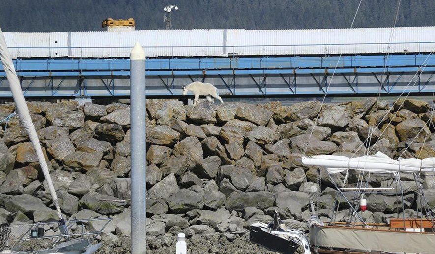 """In this Saturday, July 16, 2016, photo provided by Patrice Fero, a goat wanders in Seward, Alaska. The mountain goat jumped into the ocean to get away from crowds snapping its picture, and the animal drowned when it couldn't get back to land because of the crush of people on shore. Alaska State Troopers say it's imperative to give animals adequate space. That didn't happen Saturday in downtown Seward, and troopers say in an online post that it """"resulted in a wild animal dying for no cause."""" (Patrice Fero via AP)"""