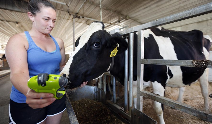 University of New Hampshire student Kayla Aragona displays a device called Moocall with a pregnant cow named Magenta, Tuesday, July 19, 2016 in Durham, N.H. The sensor attached to their tails sends text alerts to help detect when they're in labor. (AP Photo/Jim Cole)