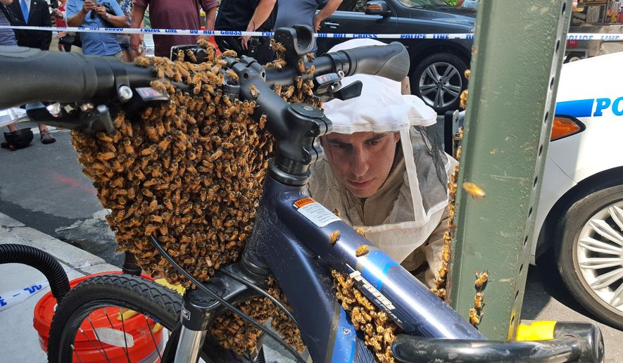 In this Aug. 4, 2015 photo provided by the New York City Police Department, Detective Daniel Higgins begins the process of removing bees enveloping the front of a bicycle parked in New York's Midtown Manhattan neighborhood. Higgins' main NYPD job is as a counterterrorism expert, but he is also part of a special team of officers that responds to emergency calls reporting swarms of bees that suddenly cluster in spots around New York City. (NYPD/@nypdbees via AP)