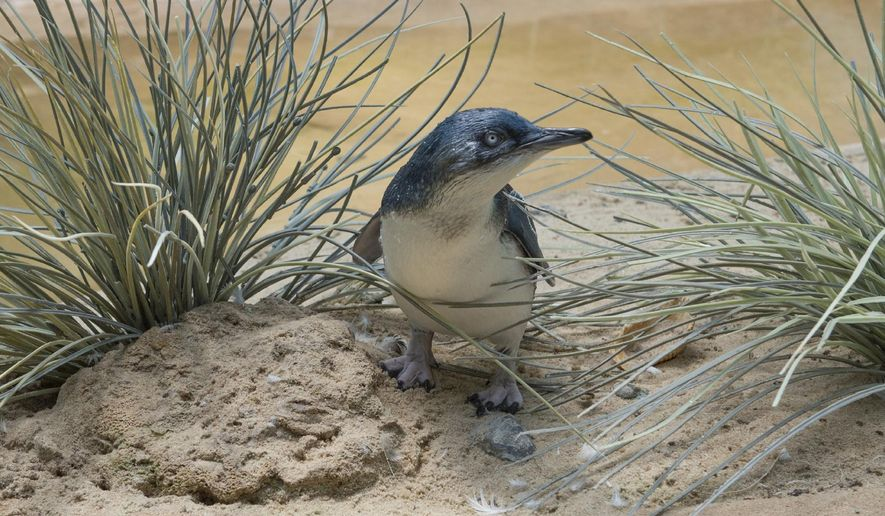"In this July 25, 2016 photo provided by the Wildlife Conservation Society, a ""little penguin"" chick is shown in its habitat at the Bronx Zoo in New York. Hatched on May 10, 2016, it is the first ""little penguin"" born at the zoo in the zoo's 120 year history. ""Little penguins,"" also known as ""fairy penguins"" and ""blue penguins,"" are the smallest of the 18 penguin species. Adults are only about 13 inches tall and weigh 2 to 3 pounds. (Julie Larsen Maher/Wildlife Conservation Society via AP)"