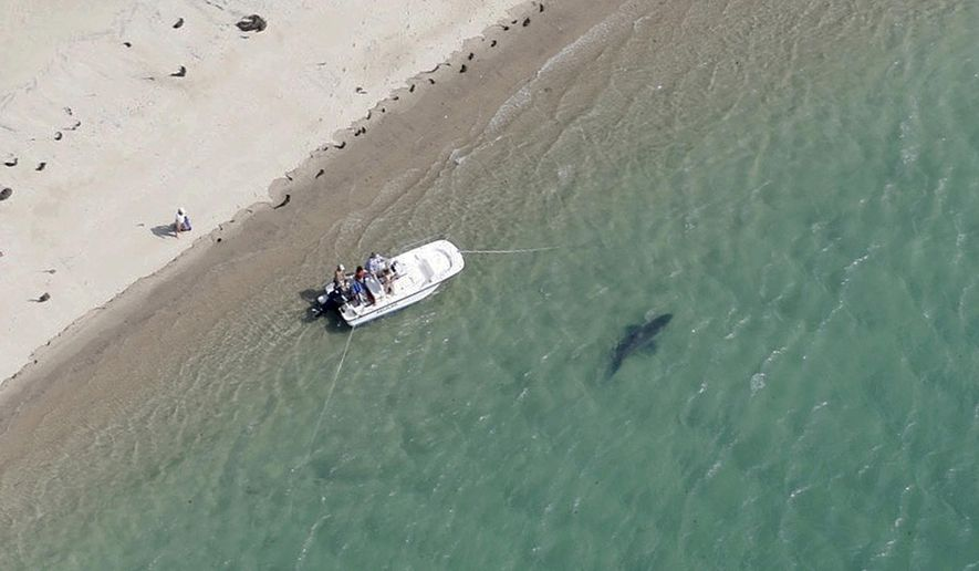 In this Tuesday, July 25, 2016 photo released by the Atlantic White Shark Conservancy, a great white shark swims close to the Cape Cod shore in Chatham, Mass. A Massachusetts state biologist said shark sightings are up slightly along the East Coast this summer. (Wayne Davis/Atlantic White Shark Conservancy via AP)