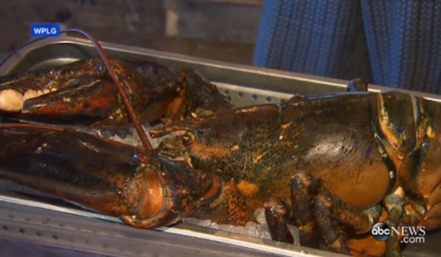 """A 15-pound lobster that activists """"rescued"""" from a Florida restaurant last week died during its 1,600-mile journey to Maine State Aquarium. (ABC News)"""