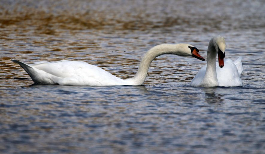 FILE - In a Oct. 6, 2012 file photo, two mute swans swim along a pond in Zelienople, Pa. Months after Connecticut environmental officials killed a swan they determined to be aggressive, Connecticut is taking steps to better inform the public about nesting sites so people can avoid coming in contact with the birds.  (AP Photo/Keith Srakocic, File)